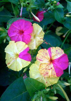 """4 o'clock"" (Mirabilis jalapa) flowers   GARDENING TIPS ON FOUR O CLOCK FLOWERS - Beautiful Flowers"