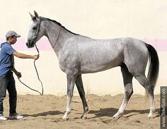 Akhal-teke horses for sale - Argamak(Manas - Adita)