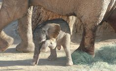 All sizes | Newborn African elephant just 15 hours old in this photo. | Flickr - Photo Sharing!