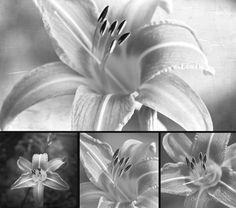 Lilies in Black and White