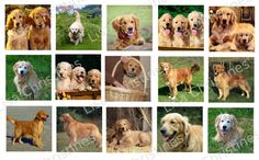 Golden Retrievers Digital Collage 1.5 inch / 176 by LisaChristines, $1.50