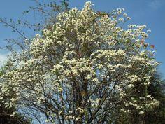 """IPÊ BRANCO : [b]Ipê-branco[/b]  Ipê-branco (Tabebuia roseoalba) é uma árvore brasileira, descrita inicialmente em 1890 como Bignonia roseo-alba. Seus nomes, tanto científico quanto popular, vêm do tupi-guarani: ipê significa """"árvore de casca grossa"""" e tabebuia é """"pau"""" ou """"madeira que flutua"""".  É uma árvore usada como ornamental, nativa do cerrado e pantanal brasileiros.  É c"""