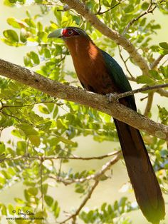 1000 Images About Turacos Cuckoos And Malkohas On