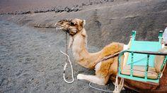 Lanzarote Camel