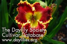 Daylily Bold Paint (Stamile) Cottage Gardens, Day Lilies, Lily, Collections, Gardening, Flowers, Painting, Beautiful, Growing Up