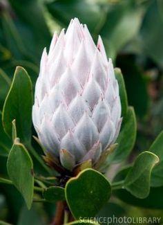 King protea (Protea cynaroides) flower Protea Art, Protea Flower, Flora Flowers, Flowers Nature, Exotic Flowers, Amazing Flowers, Paper Flowers, Wild Flowers, Beautiful Flowers