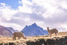 alpaca in ausangate