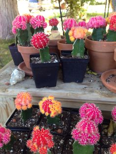 Grafted moon cactus 6.00