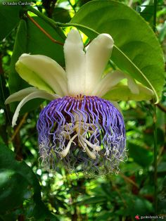 Passiflora nitida