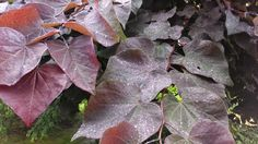 Our beautiful Forest Pansy Eastern Redbud - I love the large heart shaped leaves.