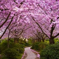 A wonderful avenue from japanese cherry trees cover a narrow footpath.