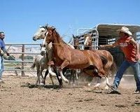STOP THE ROUNDUP OF WILD HORSES ACROSS THE NAVAJO RESERVATION NOW
