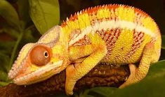 Ambilobe Panther chameleons for sale online, buy baby ambilobe panther chameleon for sale online panther chameleon breeder baby panther chameleon for sale. Sulcata Tortoise For Sale, Baby Tortoise, Tortoise Turtle, Baby Chameleon, Veiled Chameleon, Reptiles, Lizards, Snakes, Amphibians