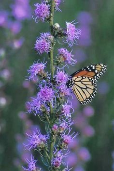 Rough Blazingstar (Liatris aspera) benefits butterflies and birds