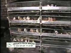 Crianza de Cuyes en jaulas con uso de Forraje Hidroponico.