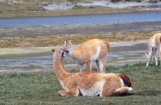 I took this while trekking around the Mom & baby Guanaco kissing.Torres del Paine area in Chile. I sat quietly and observed a group (herd?) of Guanaco for several hours.  © Anabela Salvador George
