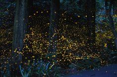 Hotaru  岡山市に住むアマチュア写真家(ヒラマツ・ツネアキ氏)が長時間露光で撮影したホタルの写真が、口コミで世界中に広がっている。フランスの『FIGARO』誌にも掲載され、アメリカ自然史博物館からの打診もあったという。