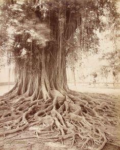 Wortels van een waringinboom op Java