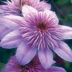 Empress - the Longest-Blooming Double.  Steady blooms (instead of flushes). Begins late spring/early summer and continues to fall, group 2