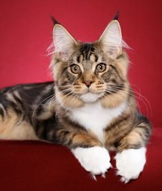 IW SGC MTNest Prince William-----TICA's Best International Kitten 2011----   One of TICA's top Maine Coons