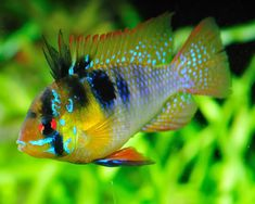German Blue Ram Cichlid.....We have one of these in our peaceful tank & he get's on well with all the other fish because he is the boss,but he is not aggressive towards them.