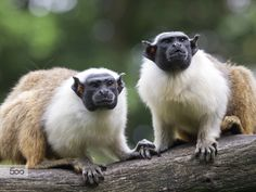 Mantle Tamarins by Edwin Butter / 500px