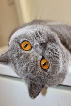 Vyvyan Cat | Pawshake