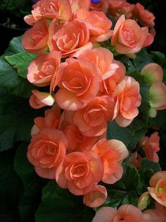 Peach Begonias