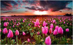 Tulip Garden Field Of Flowers Wallpaper   tulip garden field of flowers wallpaper 1080p, tulip garden field of flowers wallpaper desktop, tulip garden field of flowers wallpaper hd, tulip garden field of flowers wallpaper iphone