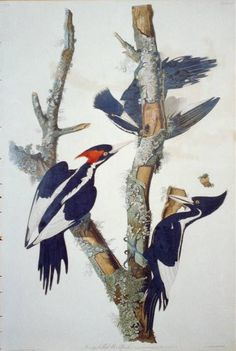 """Ivory Billed Woodpecker: The Birds of America by John James Audubon, Vol. I, Pl. 66. London, 1827-1838, (Elephant Folio). From the John James Audubon """"Bird's in America Collection"""" in the Rare Book and Special Collections Division at the Library of Congress. For the full work see:  http://hdl.loc.gov/loc.pnp/cph.3b52390"""