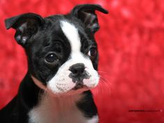 Boston Terrier. the face.