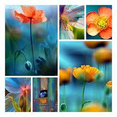 Orange and Blue - Poppies