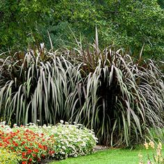 Pennisetum Prince - an annual grass in Manitoba, but saw it growing at Rainbow Mills Garden Centre in a group of six plants that looked so impressive. Check it out!
