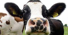Cómo las vacas conquistaron el mundo (y de qué manera podrían destruirlo)