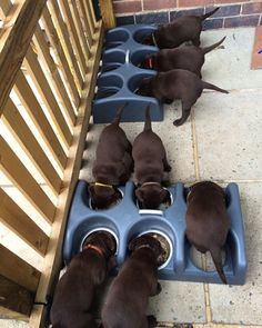 There is always one in every litter ... Can you see him by labradors4life #LabradorRetriever
