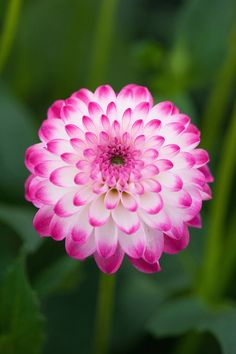Dahlia 'Pink Ice'