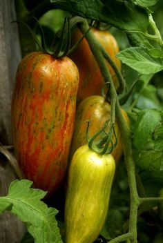'Striped Roman' tomato -great for salsa and cooking