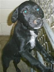 Cage #30 (42294) is an adoptable Black Labrador Retriever Dog in Clovis, NM. Date Available:08/17/12 ***This animal was picked up as a stray, no extra information is known about this animal*** The sh...
