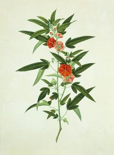 Five petalled reddish orange flower. China, early 19th century