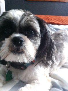 #shihtzu - Here's Thomas again & he looks so much like my Beau