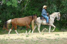 Tennessee Walking Horses - CLOUD 9 WALKERS (Tennessee Walking Horse Gelding)