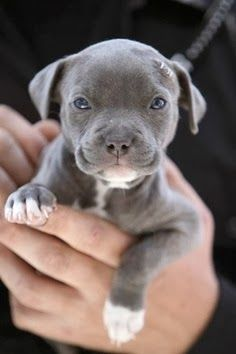 Uplifting So You Want A American Pit Bull Terrier Ideas. Fabulous So You Want A American Pit Bull Terrier Ideas. Animals And Pets, Baby Animals, Funny Animals, Cute Animals, Animals Images, Cute Puppies, Dogs And Puppies, Doggies, Pit Bull Puppies