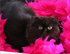 gatos persas pretos - Pesquisa do Google