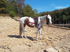 Great Trail Mare! Spotted Mountain - $2200 (Corbin)