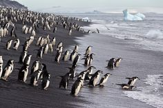 Chinstrap-penguins-entering-the-water-at-Baily-Head_E7T3482-Bailey-Head,-Deception-Island,-Antarctica