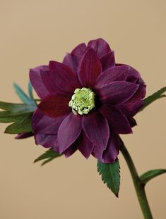Harvington Hellebores: close up of the red flower of Helleborus X Hybridus Harvington Red by Clive Nichols | Shop now on surfaceview.co.uk