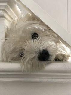 Westies, Westie Puppies, Maltese Dogs, Pet Puppy, Cute Puppies, Dogs And Puppies, Doggies, Bichons, Rottweiler Puppies