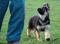 """German Shepherd puppy - """"What shall we do now, dad?"""""""