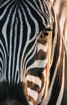 Zebra - The distinctive black-and-white striped coat of the zebra comes in different patterns, unique to ea - Animals Images, Animal Pictures, Zebra Pictures, Wildlife Photography, Animal Photography, Zebra Wallpaper, Wallpaper Wallpapers, Baby Animals, Cute Animals