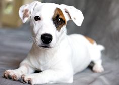 Jack Russell puppy from Trinity Farms Kennel
